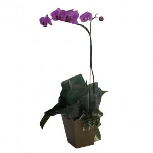 Orquídea Phalaenopsis Rosa